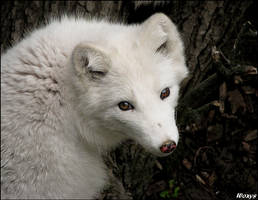Baby fox - white cutie