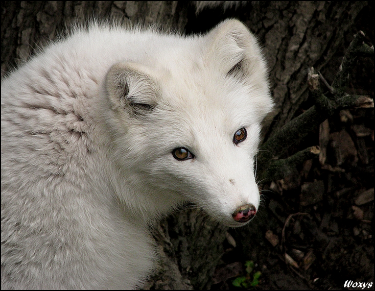 Baby fox - white cutie by woxys on DeviantArt - photo#7
