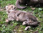 Baby cheetah - living cuteness