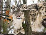 Snow leopard got high