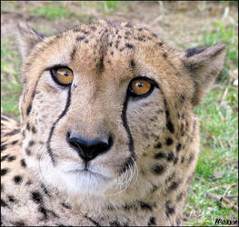 Serious cheetah is serious by woxys