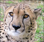 Serious cheetah is serious