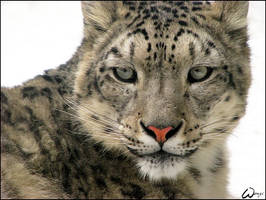 Dignity of the snow leopard