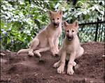 Wolf pups at last