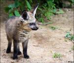 Grumpy baby fox: watching YOU
