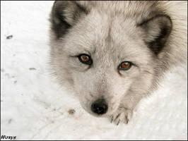 Curiosity killed the fox by woxys