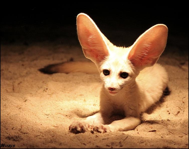 [صورة مرفقة: This_fox_hears_what_YOU_did__by_woxys.jpg]
