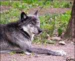 Relax of a black wolf