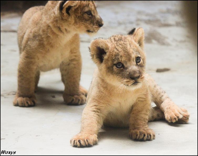 Baby lions, balls of cuteness