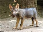 A fox? No, rare wolf pup
