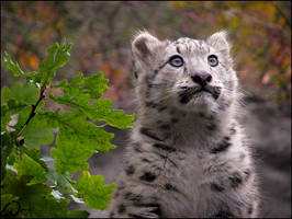 Baby snow leopard by woxys