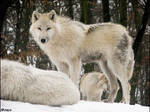 Wolves + snow ------ perfect