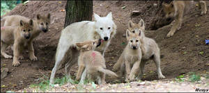 No dead wolf pups this year...