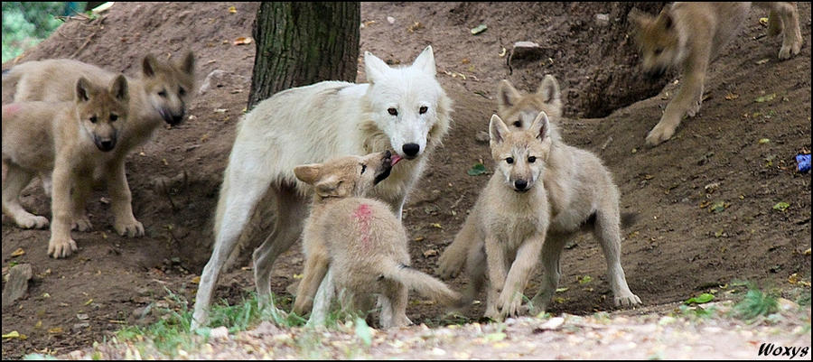 Les loups No_dead_wolf_pups_this_year____by_woxys-d2z53ss