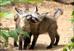 Dancing baby bat-eared foxes