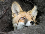 Red fox in his hole