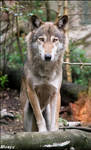 Eurasian wolf: staying proudly