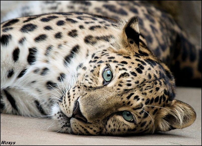 snow leopard snow leopard snout feet furry sad HD wallpaper