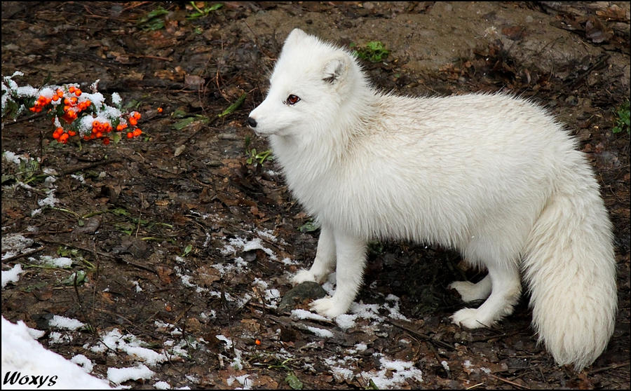 White fox and red berries by woxys on DeviantArt - photo#33
