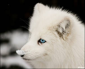 Blue-eyed and snow