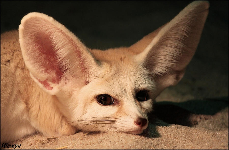 Cute Fennec Fox Wallpapers