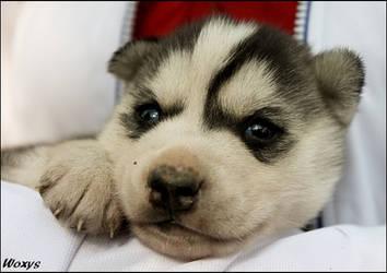 Puppy - puppy - puppy by woxys
