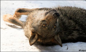 One crazy wolf again