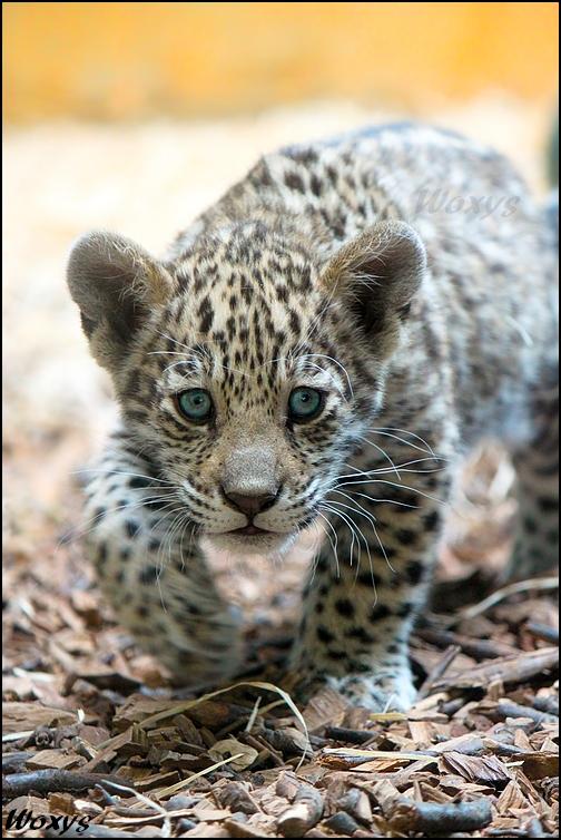 baby cute jaguar wallpaper - photo #30