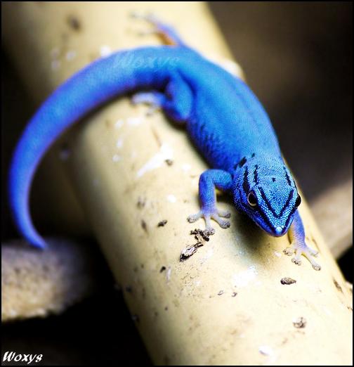 Blue diamond gecko by woxys