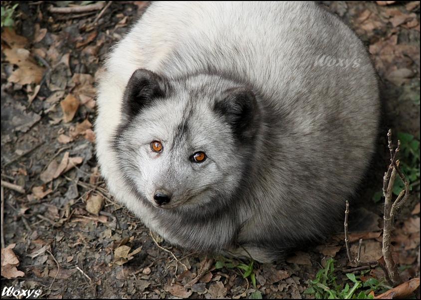 Fox by woxys