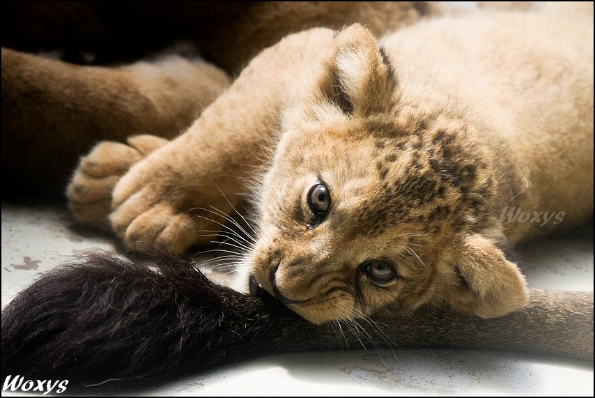 Baby lion: my daddy is a toy