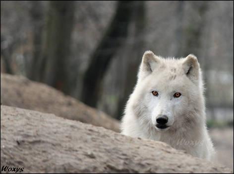 The worst alpha wolf ever