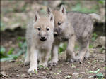 Adorable baby wolves