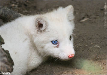 Baby polar fox :3 by woxys