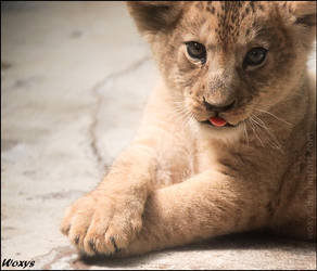 Baby lion by woxys
