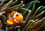My home is my anemone