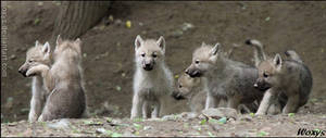 Mafia clan of baby wolves