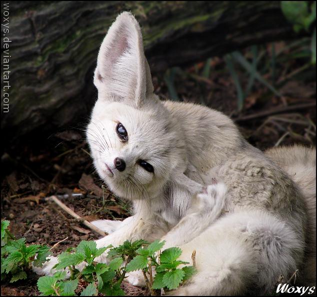 The cutest ear rub by woxys