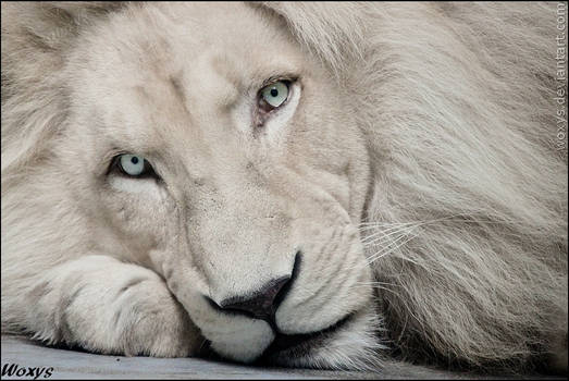 White lion Haldir: look into your soul