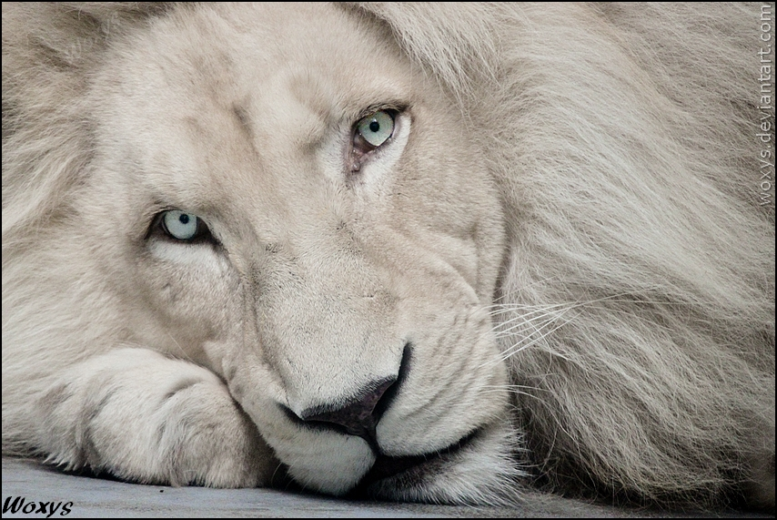 White lion Haldir: look into your soul by woxys