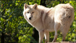 White wolf in green sea of leaves
