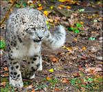Snow leopard and Realm of colours