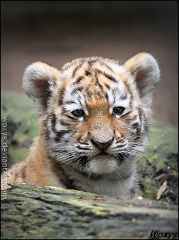 Baby tiger: this new world is SO big!