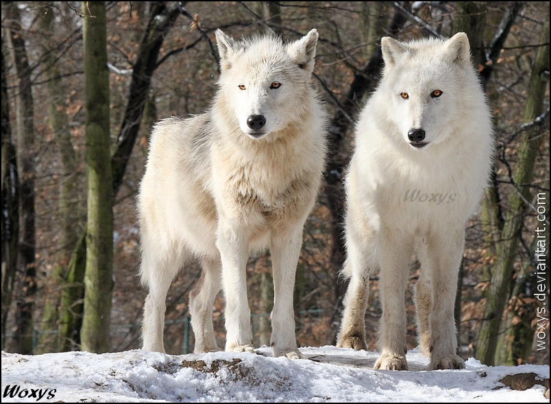 OMG, cuteh wolfs piccie I found by woxys