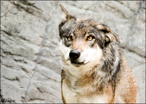 Omg, WHAT happened to this wolf?