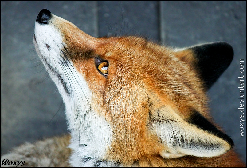 A fox can dream by woxys