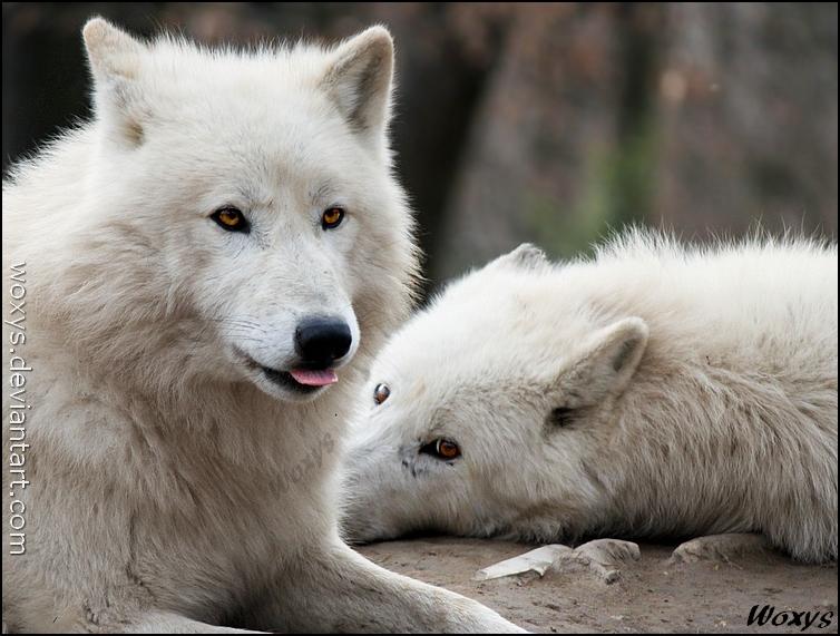 Wolf friends