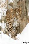Not that snow leopard