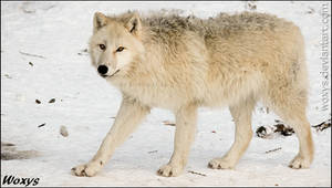 What does the wolf do in winter? Looks awesome.