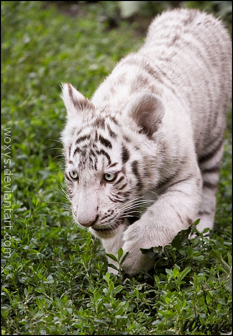 Baby tiger: learning to stalk by woxys